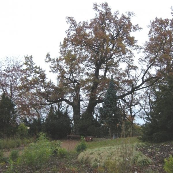 Körnerův dub v areálu zoo plzeň